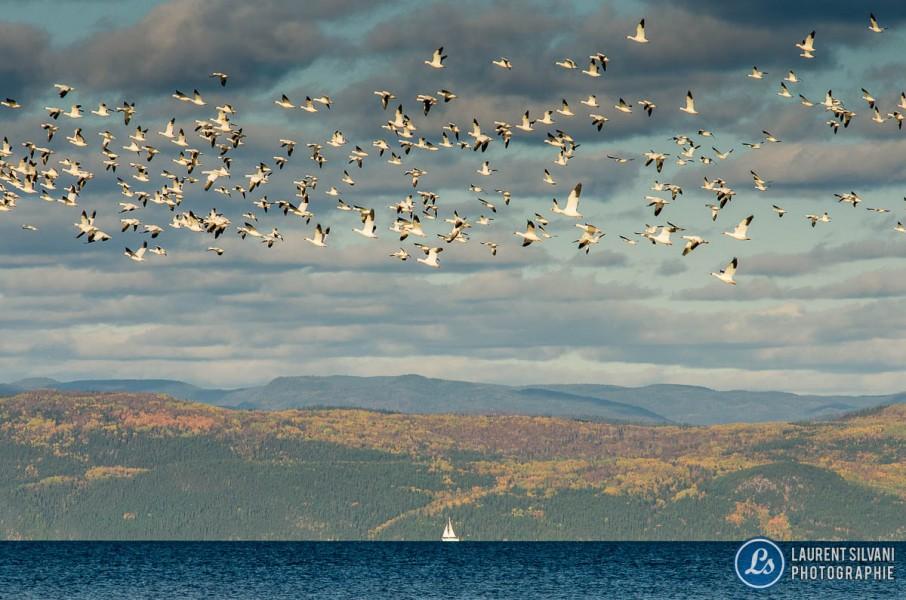 Oies blanches en vol sur la baie des Ha! Ha!