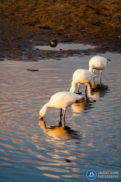 Oies blanches au Saguenay