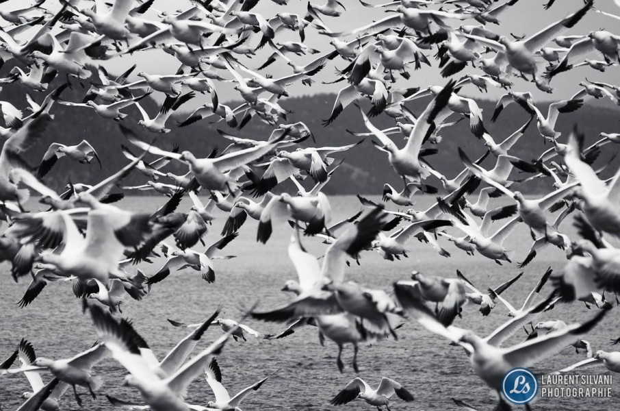 Oies blanches en vol massif