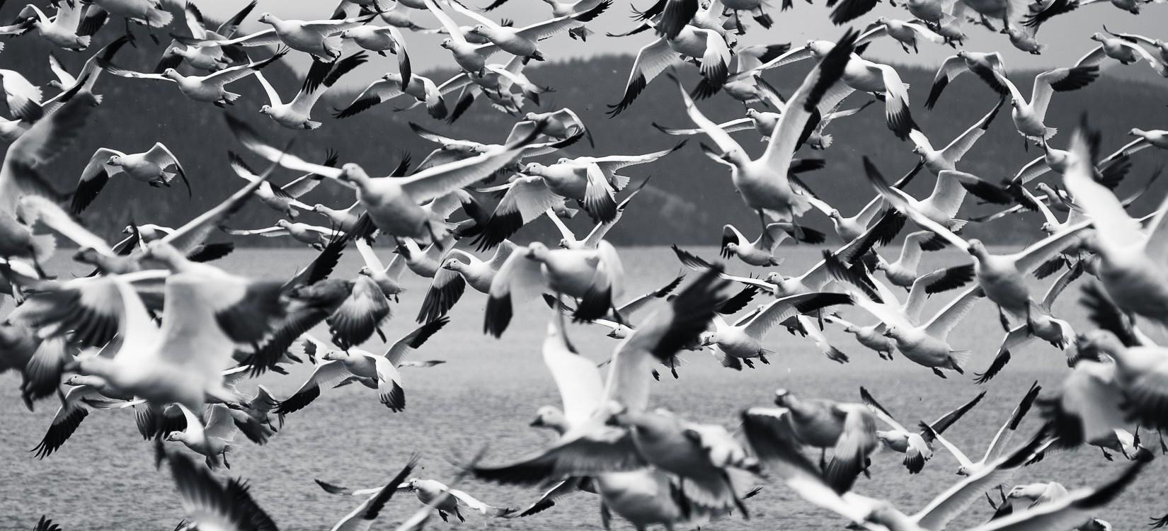 Oies blanches du Canada - animalier
