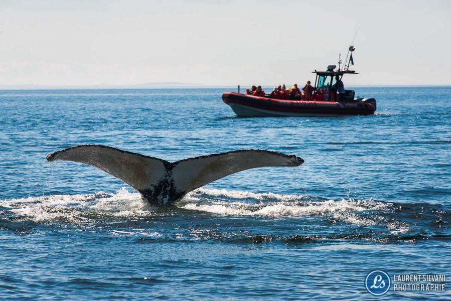 Baleine à bosse à la Côte-Nord