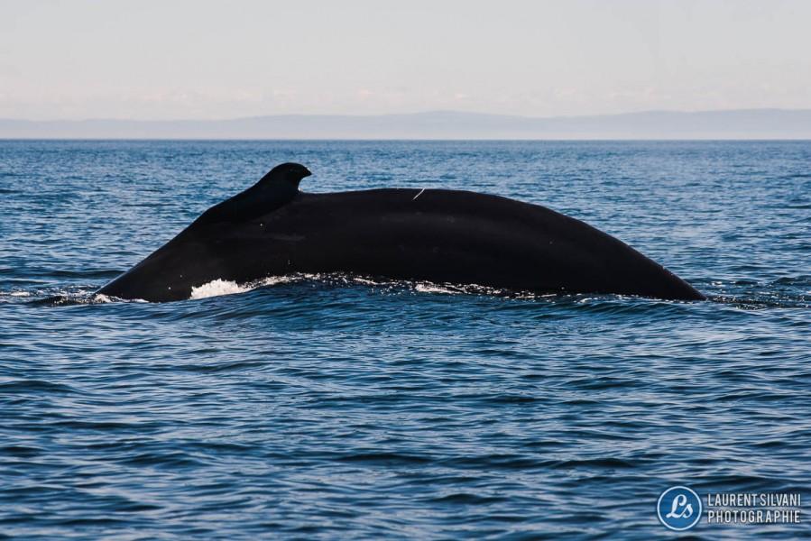 Baleine aux Bergeronnes