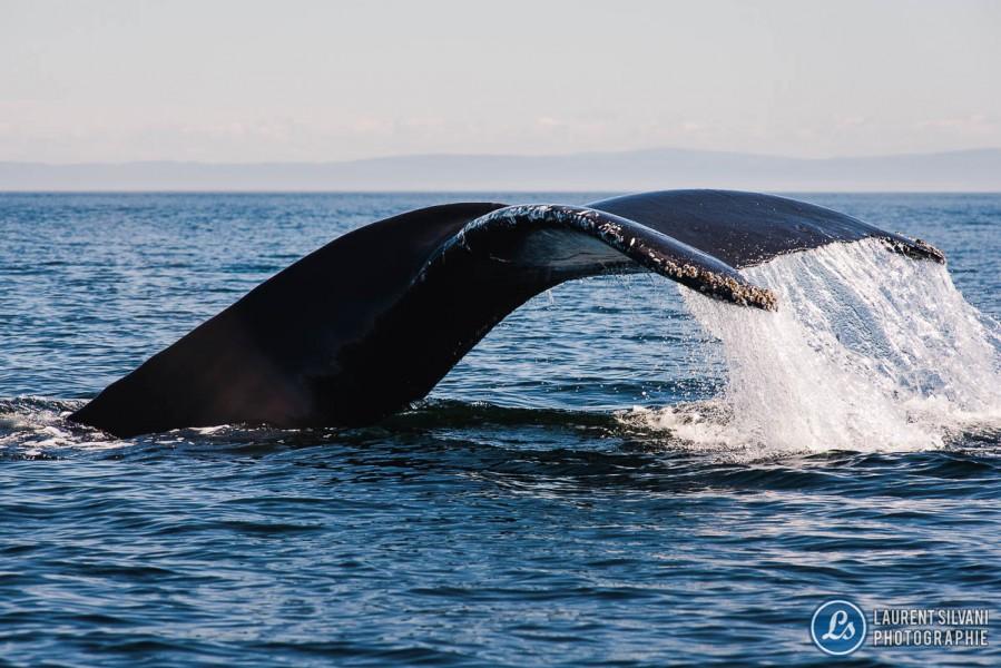 Baleine qui plonge dans le St-Laurent