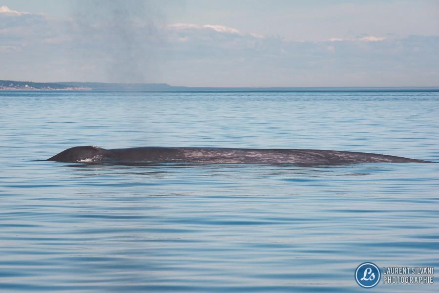 Baleine bleue dans le fleuve St-Laurent