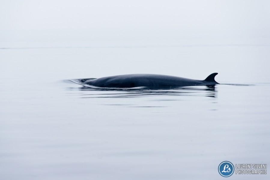 Baleine en surface