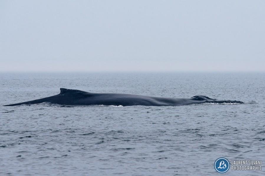 Baleines dans le fleuve St-Laurent