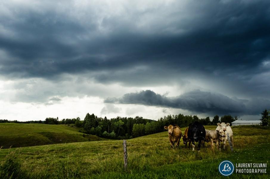 Vaches et orage à Jonquière