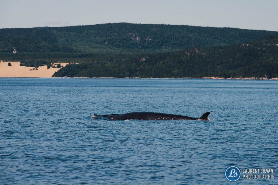 Baleine à bosse dans le décor de la Côte-Nord