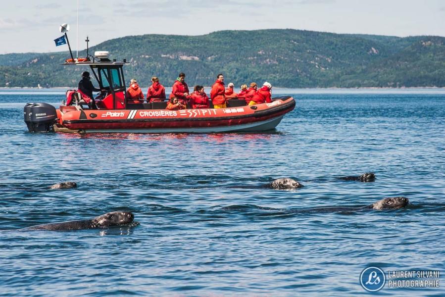 Un troupeau de phoques dans le St-Laurent