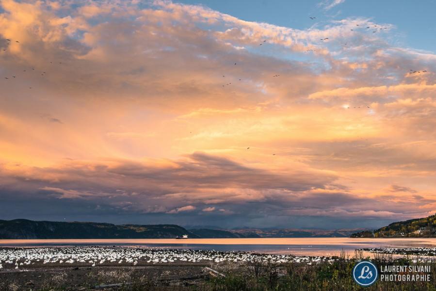 Oies blanches et coucher de soleil à La Baie