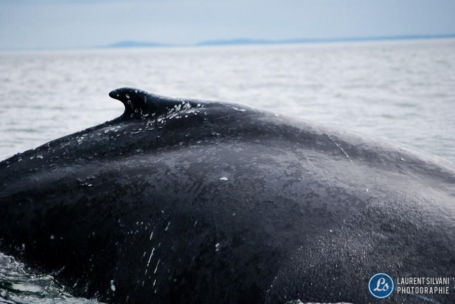 Baleine qui plonge dans le fleuve St-Laurent à la Côte-Nord