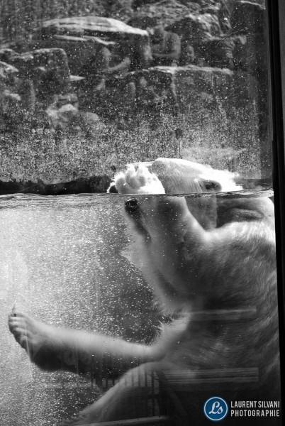 Ours blanc au zoo de St-Félicien