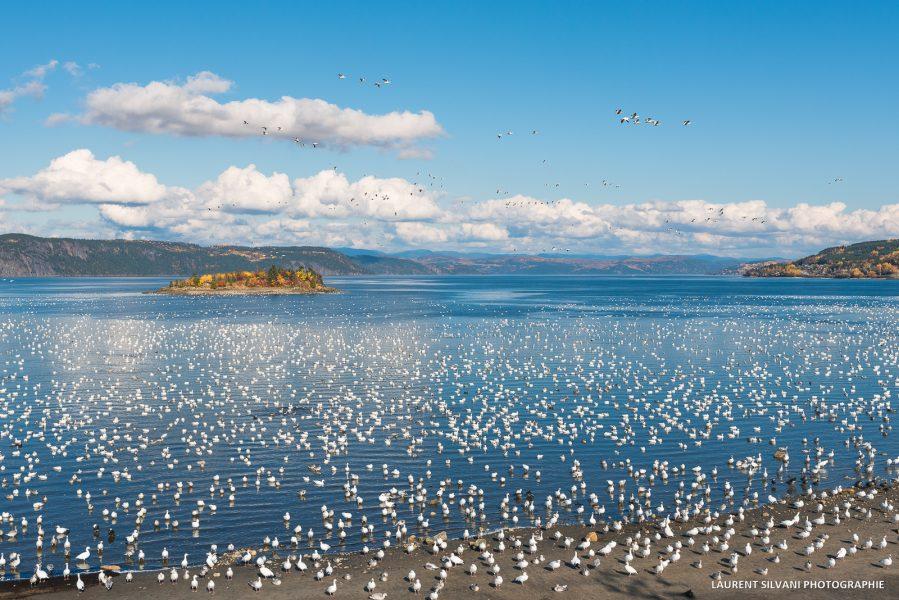 La Baie et la migration des oies blanches