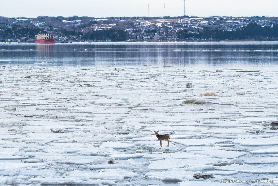 La Baie et le cerf perdu sur les glaces